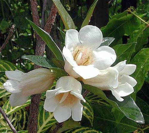 Rothmannia globosa Gardenienbaum Samen