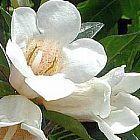 Rothmannia globosa Гардения шаровидная cемян