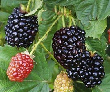 Rubus fruticosus Hull Mûres sans épines graines