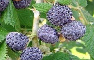 Rubus leucodermis Oregon-Himbeere Samen