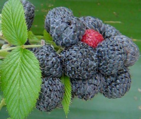 Rubus niveus Mysore Himbeere Samen