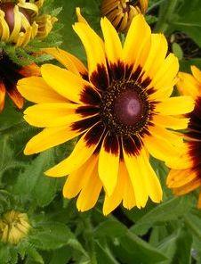 Rudbeckia hirta Denver Daisy  semillas