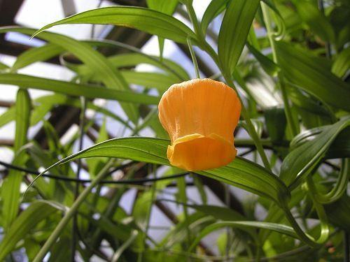 Sandersonia aurantiaca Laternenblume - Goldglöckchen Samen