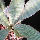 Sansevieria metallica  cемян