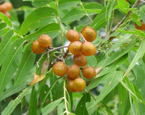 Sapindus saponaria  semillas