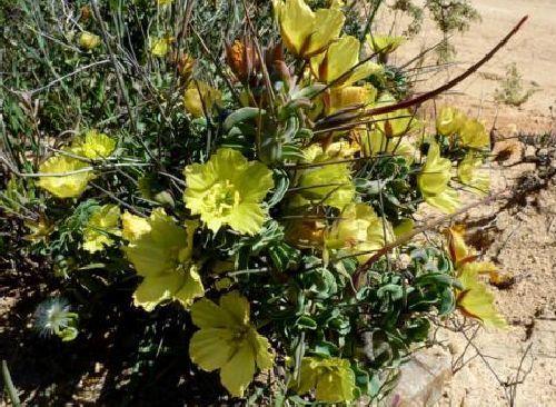 Sarcocaulon heritieri  semillas
