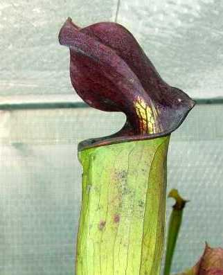 Sarracenia alata Purple Throat Giant Саррацения алата Семена