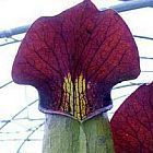 Sarracenia alata Purple Throat Giant Schlauchpflanze Samen
