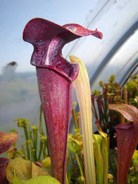 Sarracenia alata nigropurpurea  semillas