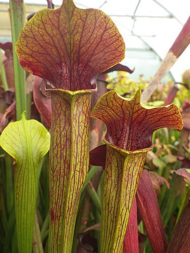 Sarracenia alata purple throat green outside Schlauchpflanze Kultivar purple throat green outside Samen