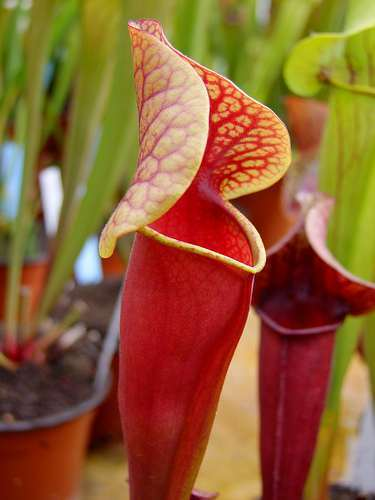 Sarracenia alata purple throat red outside Kannenpflanze – fleischfressende Pflanze Samen