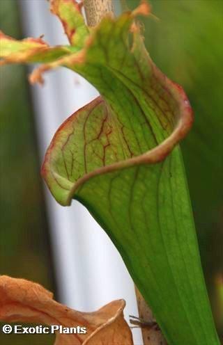 Sarracenia areolata Sarracena Samen