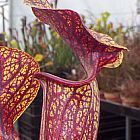 Sarracenia flava var. ornata Superornata Schlauchpflanze Kultivar ornata Superornata Samen