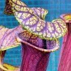 Sarracenia flava var. rubricorpora Claret MK25C  cемян