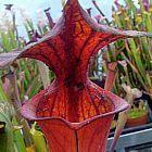 Sarracenia flava var. rubricorpora RCP1 Schlauchpflanze Kultivar rubricorpora RCP1 Samen