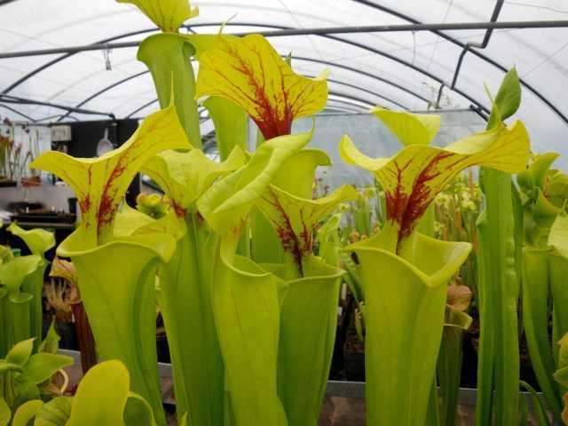 Sarracenia flava var flava gelbe Schlauchpflanze Samen