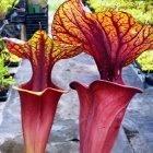 Sarracenia flava var rubricorpora Ornata Kannenpflanze Kultivar rubricorpora Ornata Samen
