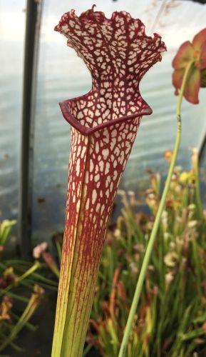 Sarracenia leucophylla Blackwater Kannenpflanze grün-weiß Samen