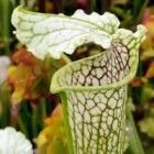 Sarracenia leucophylla Citronelle Kannenpflanze Kultivar Citronelle Samen