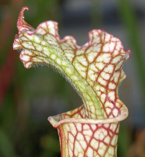Sarracenia leucophylla Insektenfang Schlauchpflanze Kultivar Insektenfang Samen