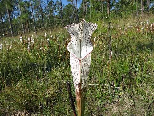 Sarracenia leucophylla MK L20A Baldwin Co.  semillas