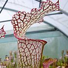 Sarracenia leucophylla Pubescens Schlauchpflanze Kultivar Pubescens Samen