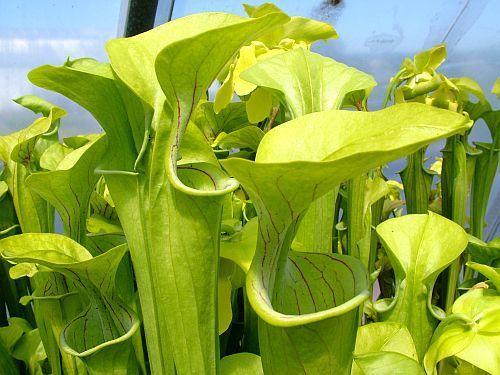 Sarracenia oreophila Giant Schlauchpflanze Kultivar Giant Samen