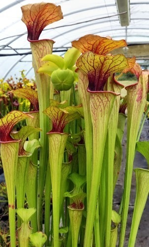 Sarracenia oreophila very fat pitchers sarracénie verte, pichets grandes graines