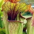 Sarracenia oreophila very fat pitchers gruene Kannenpflanze grosse Kannen Samen