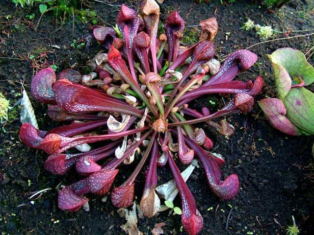 Sarracenia psittacina Саррацения пситтацина  Семена