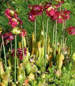 Sarracenia purpurea rote Schlauchpflanze Samen