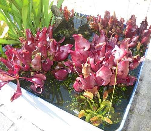 Sarracenia purpurea ssp purpurea GLS Maine  Семена