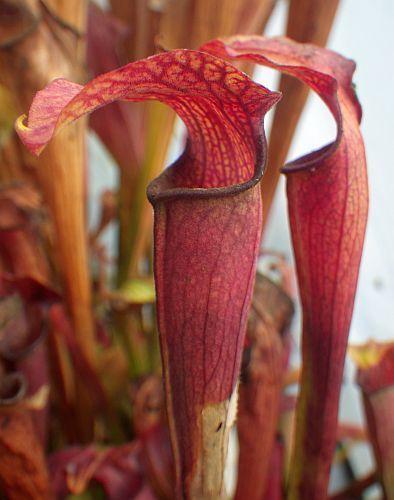 Sarracenia rubra ssp. Jonesii Cesars Head Schlauchpflanze Kultivar Jonesii Cesars Head Samen