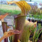 Sarracenia rubra ssp. rubra braunrote Schlauchpflanze Samen