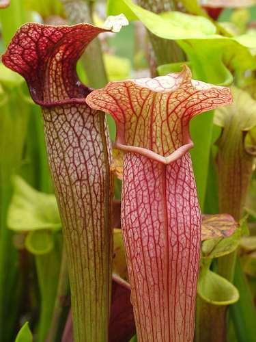 Sarracenia x areolata Kannenpflanze – fleischfressende Pflanze Samen