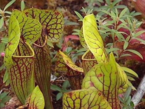 Sarracenia x catesby  Семена