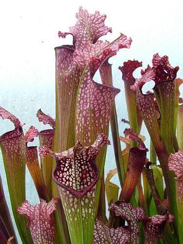 Sarracenia x excellens pink big form Sarracena, Planta de jarra Norteamericana, Plantas trompeta, Cuerno de caza semillas