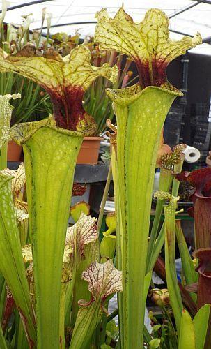 Sarracenia x moorei Boga Leiden Schlauchpflanze Kultivar Boga Leiden Samen