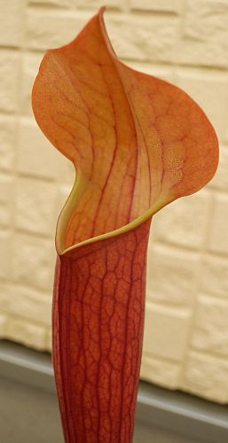 Sarracenia x moorei all red Schlauchpflanze Kultivar all red Samen