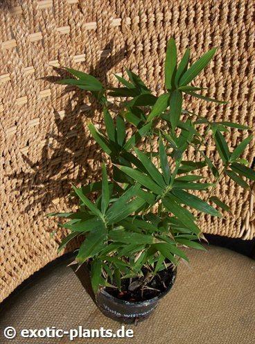 Sasa pumila Bambus Samen