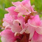 Satyrium carneum Orchidee - Orchideen Samen