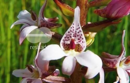 Satyrium rhynchanthum orquídea semillas