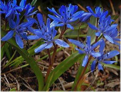 Scilla bifolia Blaustern Samen