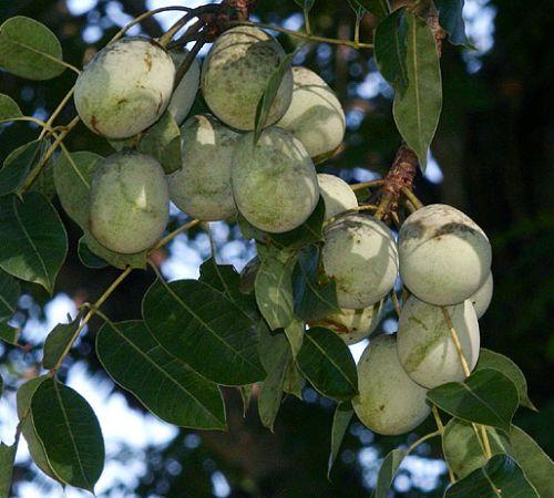 Sclerocarya birrea ssp caffra Marula-Baum - Elefantenbaum Samen