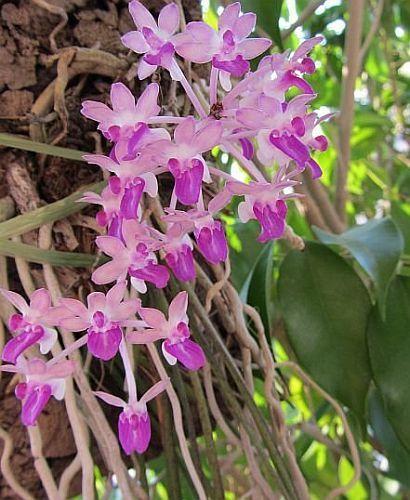 Seidenfadenia mitrata orquídea semillas