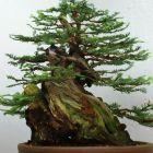 Sequoia sempervirens K?stenmammutbaum Samen
