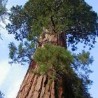 Sequoiadendron giganteum Riesenmammutbaum Samen