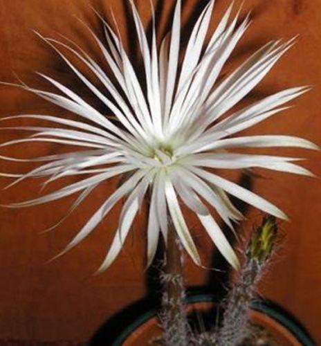 Setiechnopsis mirabilis Kaktus Samen