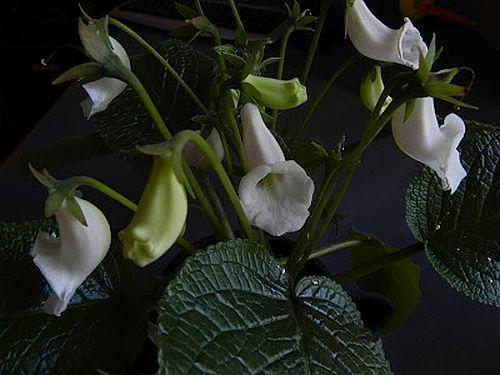 Sinningia eumorpha Caudex semillas