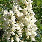 Sophora japonica Софора японская cемян